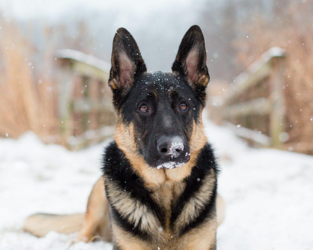 German Shepherd Dog outside winter